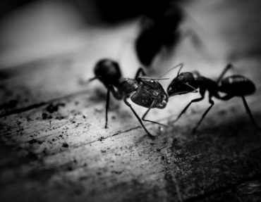 ants-black-and-white-black-and-white-928276